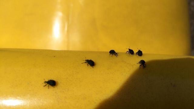 Infestation of Little Black Bugs